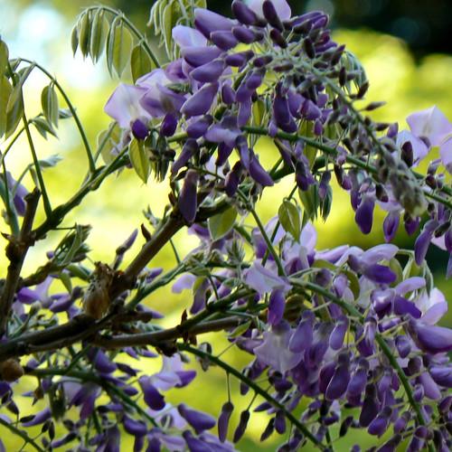 My wisteria