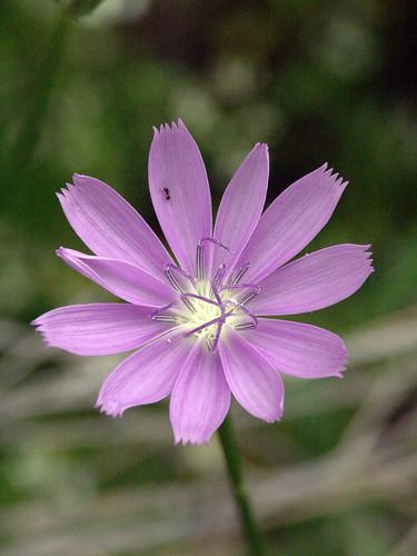 Skeleton Plant Flower