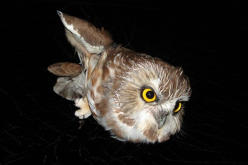 Northern Saw-whet Owl mist netted