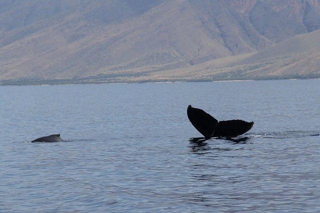 Maui Whale-watching