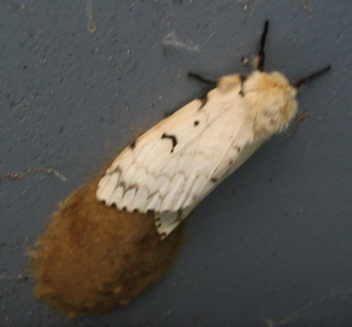 Gypsy Moth laying egg mass