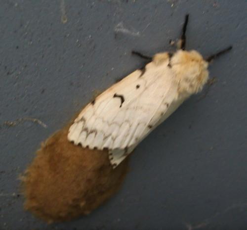 Gypsy Moth laying egg mass