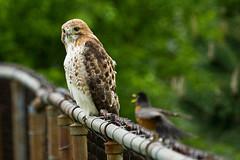 hawk and robin