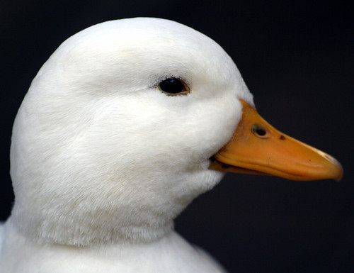 white duck head photo by law_kevin on flickr.com