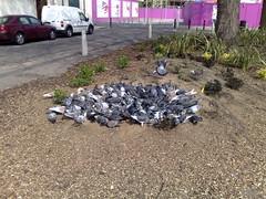Pidgeon Cluster