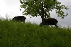 Black sheep in Gruyère