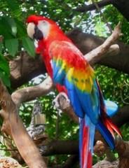 Scarlet Macaw, San Diego