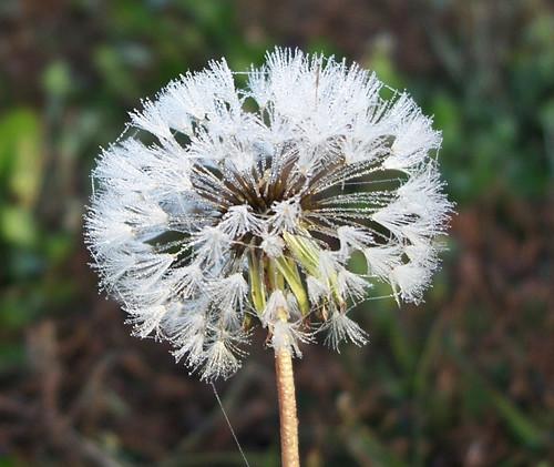dandelion dew.jpg
