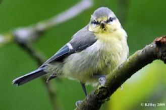 Blue Tit (Parus caeruleus/Cyanistes caeruleus)