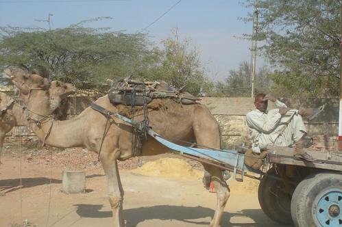 Jaipur路上1-33當地以駱駝為主要運輸的工具