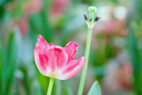 pink tulip, istanbul tulip festival, istanbul, pentax k10d