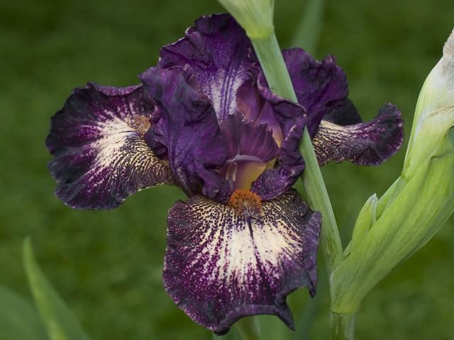 Iris 'Devil's Playground'