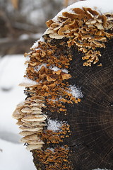 Bracket Fungi on Log