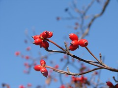 dogwood fruit against the sky at Virginia welc...