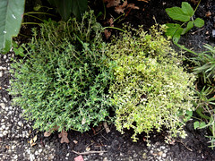 Thyme+Thyme