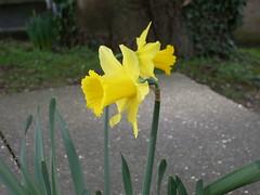 Daffodils in February!