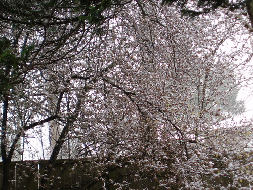 Strange weather picture -- snow-covered cherry blossoms in March not normal vancouver weather!!