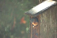 Bluebird in box