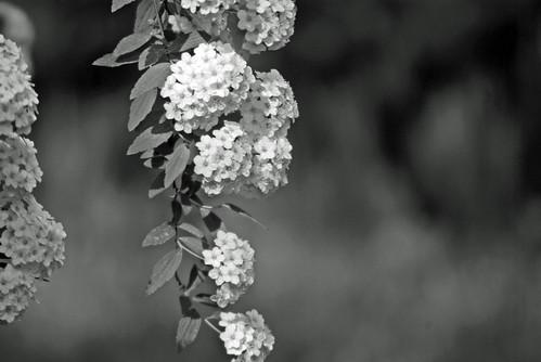 white flowers, Pentax K10D