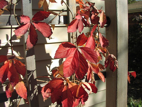 Grape woodbine changing colors