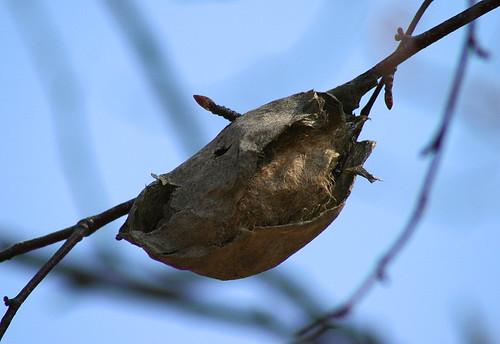 Polyphemus moth cocoon