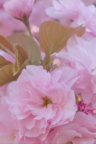 Cherry Blossom 69/365