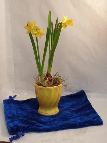 Daffodil still life set up