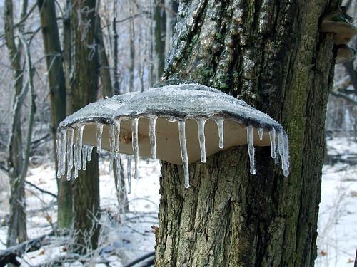 icy shelf fungus