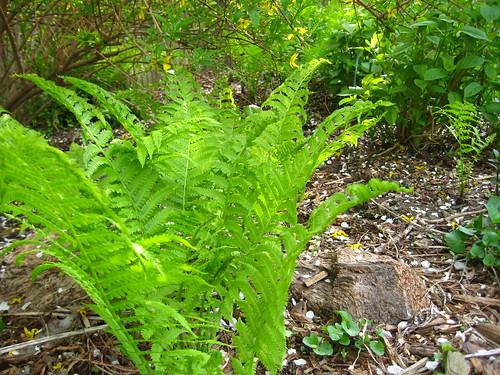 Ostrich ferns spring up (by RPOPtream)