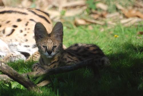 Serval im Zoo de La Flèche
