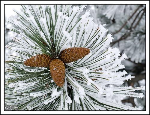 The (snow)man in the pine-tree
