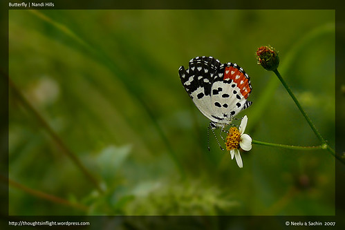 Red Pierrot | Nandi Hills