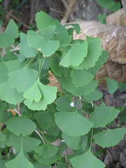 great ginko tree