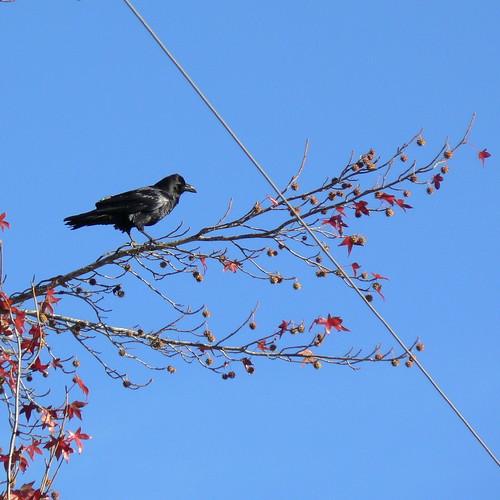 Raven near my house