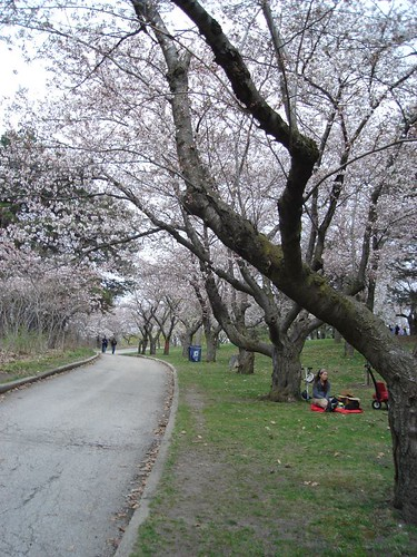 cherry blossoms 026