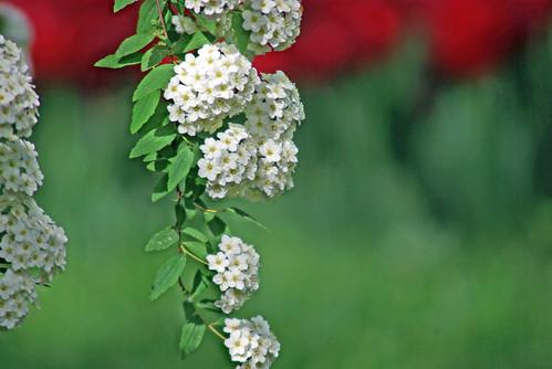 white flowers, istanbul, pentax k10d