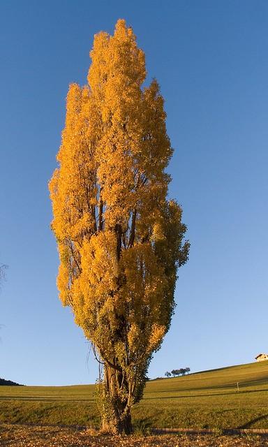 "Populus nigra ""cipressina"""