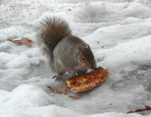 Squirrels love pizza