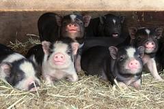 Lil Piggies