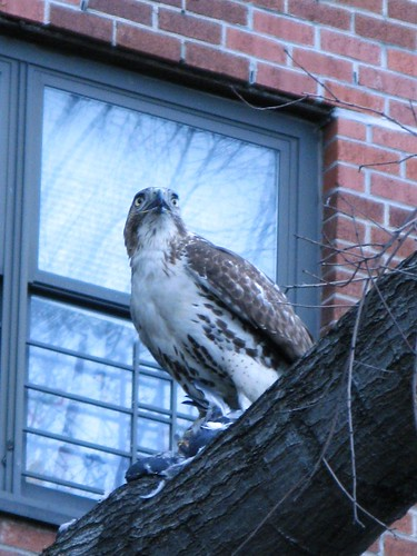 Red-Tailed Hawk, Feasting
