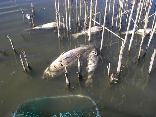 Striper carcasses on Prospect Island