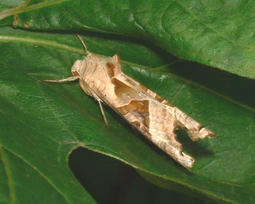 Angle shades moth (phlogophora meticulosa)
