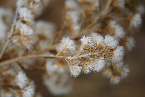 Frosty Goldenrod Seeds
