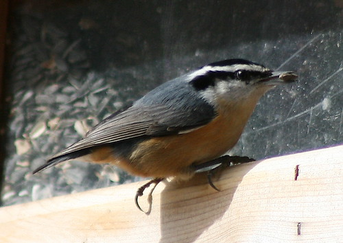 Redbreasted Nuthatch
