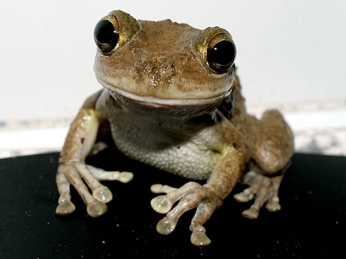 Cuban-Tree-Frog-CU