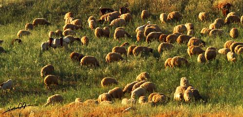 sheep.