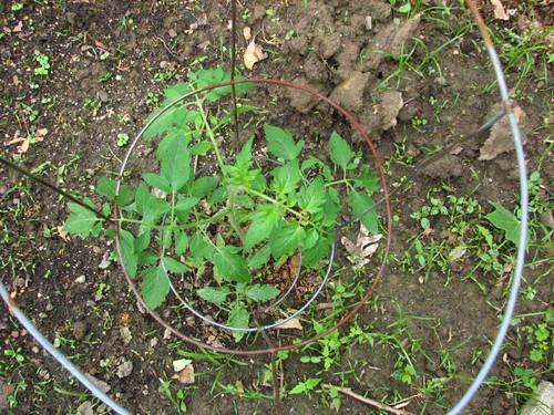 Potato leafed tomato