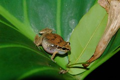 Frog in Curacao