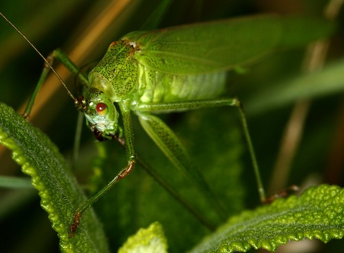 Sickle-bearing Bush-cricket - Warren Glen, HCPNR