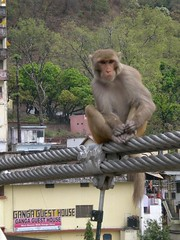 The Monkeys rule Laxman Jhula's Bridge, Rishikesh 1